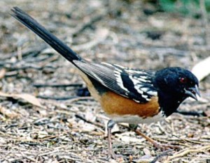 BIRD SPOTTED TOWHEE2