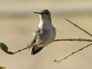 hummingbird-perched-on-twig_12893_600x450