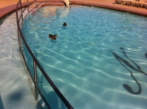 Ducks that flew in the Golden Nugget Pool