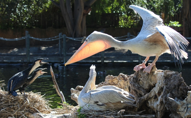 Pink breasted Pelican fighting over nesting material with a Cormorant