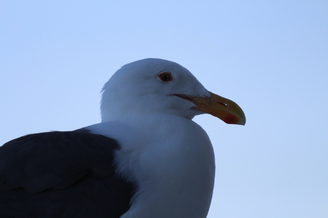 Close up of a mysterious Seagull  What kind of Seagull?
