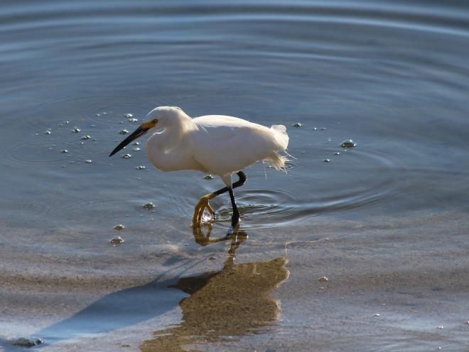 Snowy Egret's yellow foot