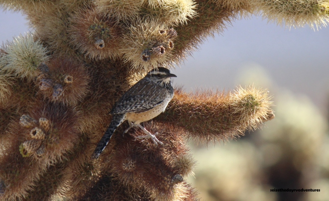 Cactus Wren we saw at the Cholla Cactus Garden.