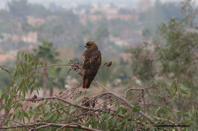 This Red-tailed Hawk was in my backyard area.