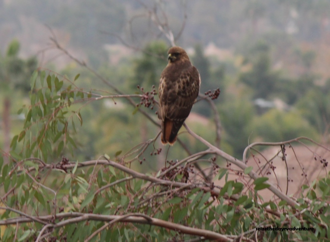 The Hawk turned its head slightly to look at me.