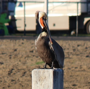 We saw several pelican on our walk along mission bay in the morning.