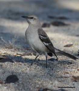 We saw several northern mockingbird in the campground.