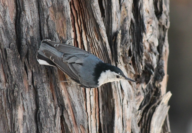White-breasted Nuthatch - spotted at Idllywild Thousand Trails last year