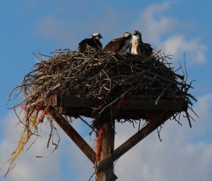 Opsprey nest in front of the campground