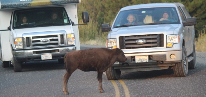 some campers don't like to wait for the bison on the road