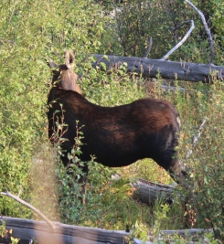 Moose we saw at Blacktail Plateau
