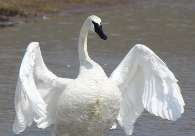 Swan - This is a new bird for our life list.