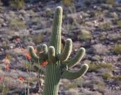 Fingers Saguaro
