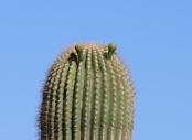 Alien Saguaro