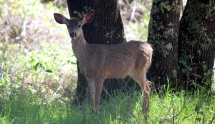 Deer in the campground