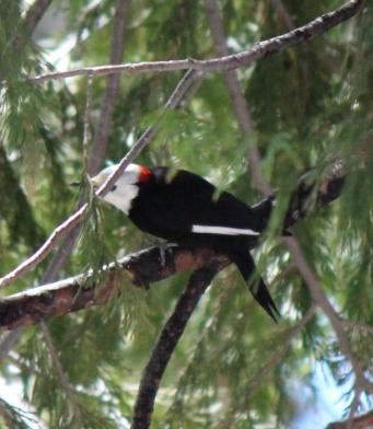 White-headed Woodpecker
