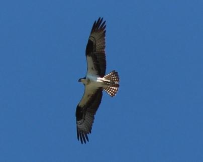 Osprey at Dam
