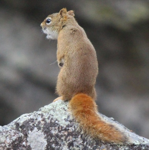 Red Squirrel communicating