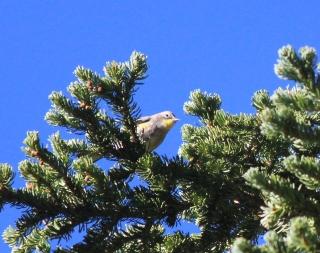 Victoria's Warbler